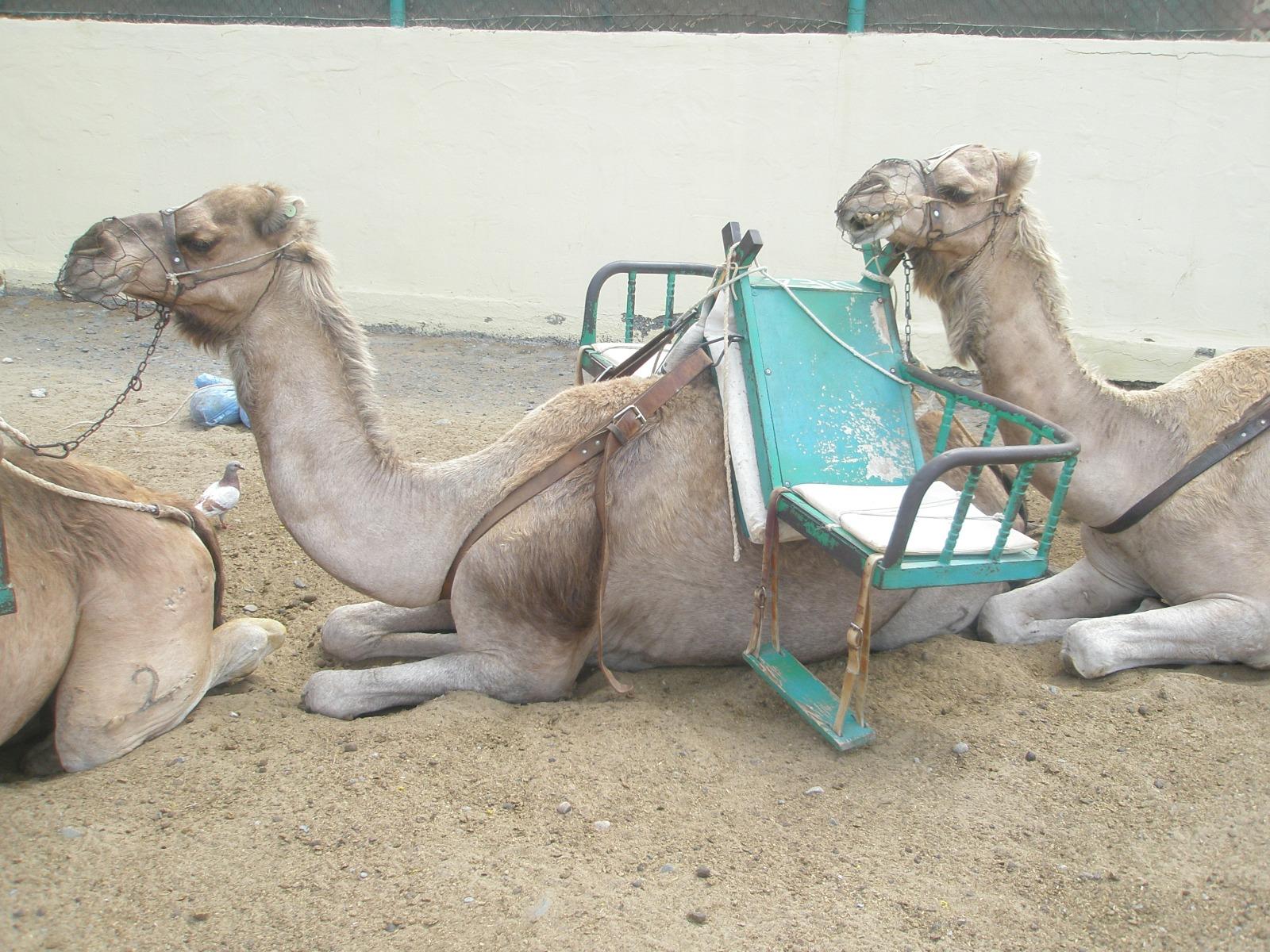 camellos - desierto - arena